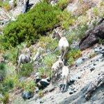 Mountain sheep family.