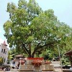 Buddhist Nath devalaya-Bodi tree