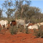 Cattle on property