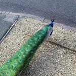 outside the lodge peacock