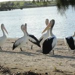 Pelicans on the foreshore