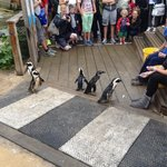 Feeding time at the penguin crossing