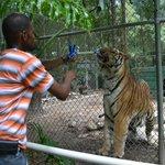 Tiger Feeding  Roy 1000lb Siberian Tiger