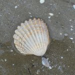 A pretty shell from the beach opposite the Hotel.