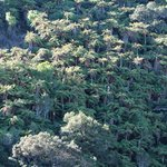 FERN TREES GALORE