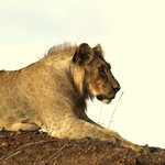A Male Sub Adult Lion Beginning to Sprout a Mane