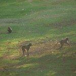 les babouins le soir dans le parc