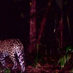 Camera trap/at night