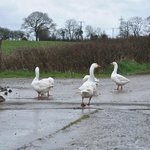 The funny guard geese who stay at the gate.