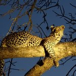 LIT- Leopard in tree