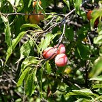 Sand Plums Along the Path