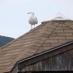 massive seagull