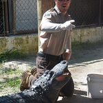 Alligator show