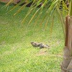 le iguane k si aggira nella struttura