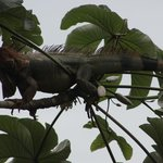 Same tree as the sloth!