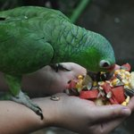 Feeding the parrots in their cage