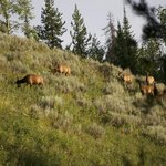 Elk eating breakfast!