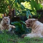 Beautifull White Tigers , Have a photo taken with one .