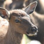 A baby elk.  Did you know they squeak?