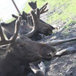 Moose buddies lying in the shade.