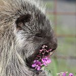 Snickers was loving the fireweed.
