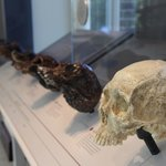 Skull casts in the hominid exhibit