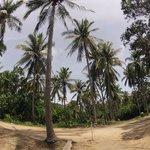 Racha Island coco trees