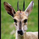 Resident duiker at the lodge