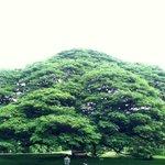 stunning rain tree