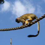 Monkeys playing rope tricks