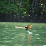 A white-bellied Brahmini eagle swooping down to catch its prey