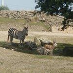 Zebra und Gazelle in Afrika