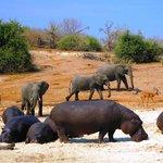 Unpredictable Wild Life in Chobe
