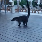 white nosed coati - the (cute) raccoon of Mexico