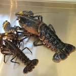 A very large lobster - the foreground specimen is 1/2Kg 'regular-sized'