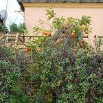 мандариновое дерево на балконе дома напротив