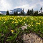 Glacier Lilies from Hidden Lake Trail Head