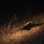 Honey Badger sighting!