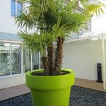 large tropical tree in courtyard planter