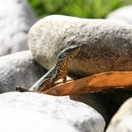 Lizard in the gardens