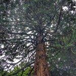 Impressive trees, including sequoias.