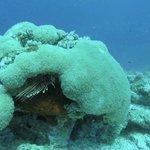 Lionfish hiding