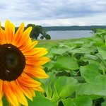 Cayuga Lake and sunflower...like a painting