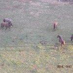 Amish mules