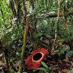 A Rafflesia in the camp