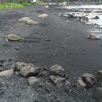 6 sea turtles taking advantage of the black sand blanket below them