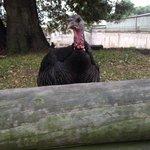 Cheeky turkey