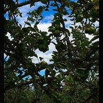 Apple trees at the farm
