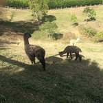 Alpacas on the property
