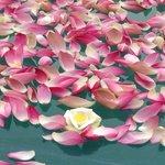 Pool of Lotus Flowers